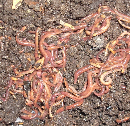 worms for sale 500g